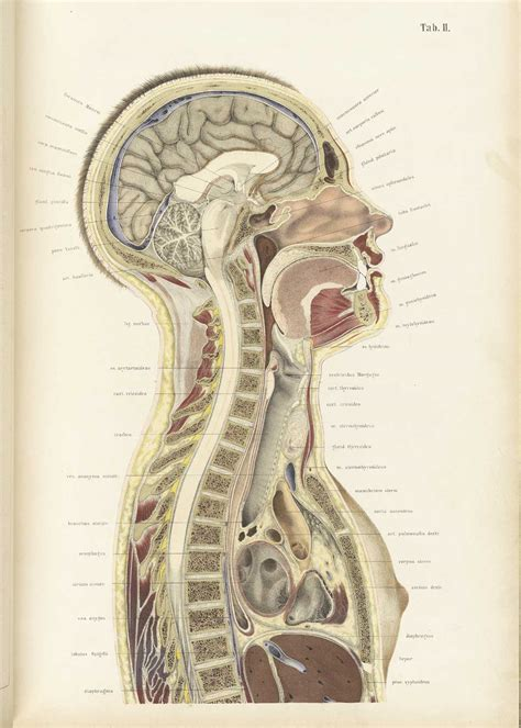 cross section of head historical anatomies on the web wilhelm braune home