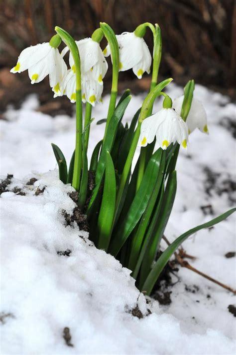 Welche Bilder by Welche Fr 252 Hlingsblumen Bl 252 Hen Wann