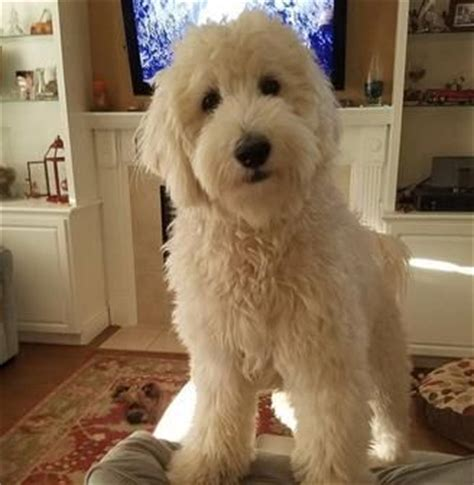 mini goldendoodles east coast 25 best ideas about goldendoodle haircuts on