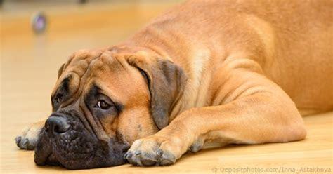 puppy illnesses illnesses diseases