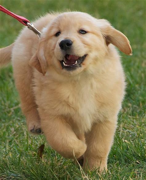 golden retriever puppies running golden retriever puppy running explore scattered1 s photos flickr photo