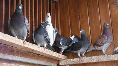 como instalar  criadero de palomas