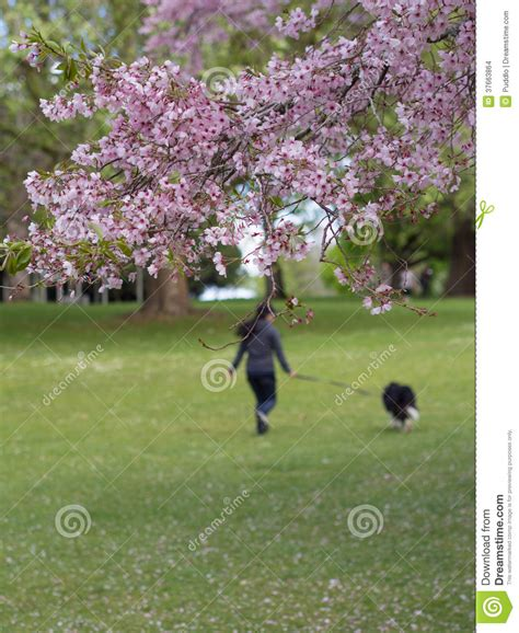 cherry tree nz reviews cherry blossom cornwall park auckland new zealand stock images image 37663864
