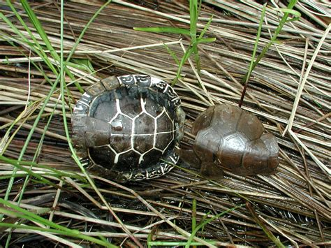 Turtle Shedding by 200306080492 Common Musk Turtle Sternotherus Odoratus
