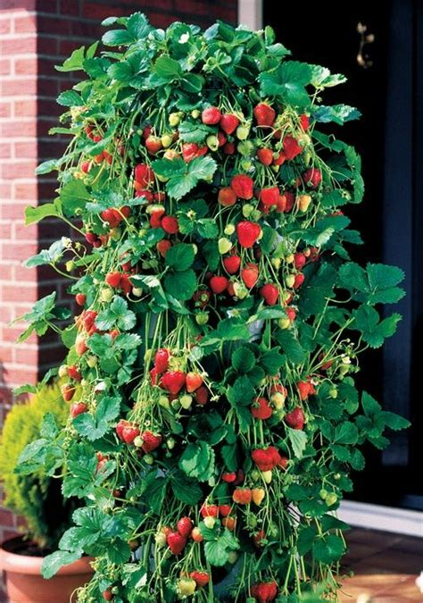 Pvc Strawberry Planter by How To Grow Strawberries Using Plastic Bottles Cool