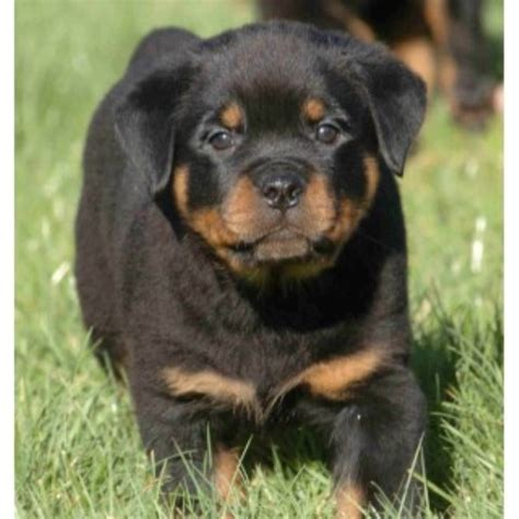 rottweiler rescue in illinois rottweiler california rottweiler rescue colorado rottweiler rescue breeds