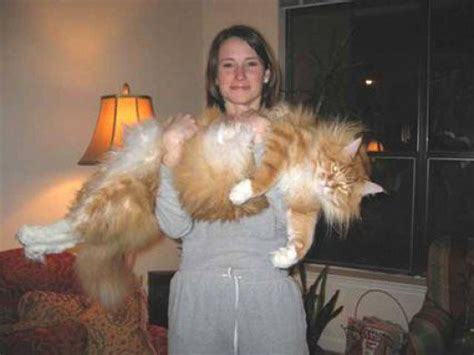 biggest house cat in the world biggest animals in the world