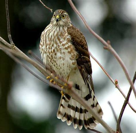 sharp shinned hawk facts habitat diet call images