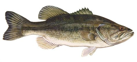 Fisch Bass by Bass Fishing Rockview Cottages Family Fishing Resort