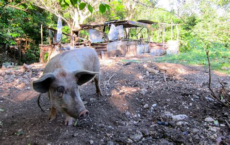 Backyard Pig Raising by The Real Jamaica Photo Gallery And Intentional