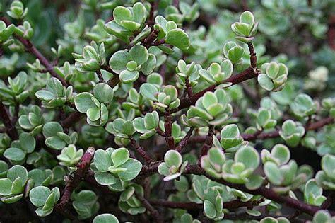 Bough Succulent 10 best images about succulents i on