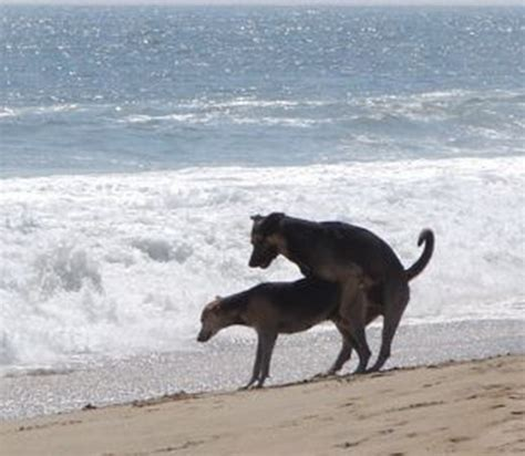 how do dogs mate two dogs mating
