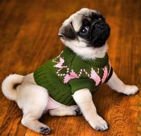 sweaters for pugs pugs sweater gray cardigan sweater