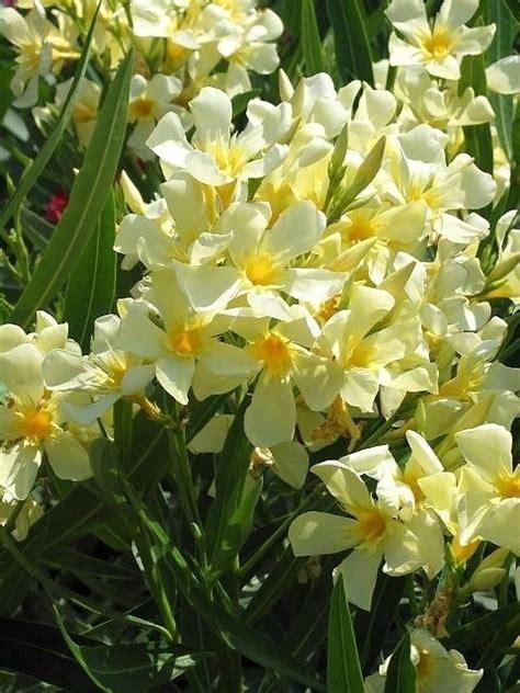 fiori di oleandro oleandro speciali coltivare oleandro fiori oleandro