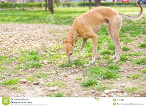 greyhound in park sniffing stock photo image 39174828