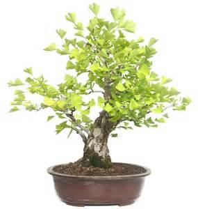 Indoor Rock Garden - products bonsai broad leaved trees ginkgo ca 40 y 74 cm bonsai de der bonsai