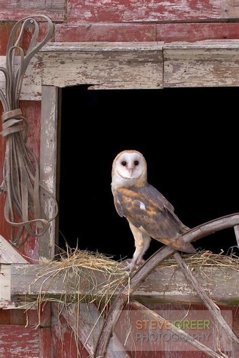 Snowy Owl Kit168 ä á Chæ I M 244 H 236 Nh GiẠY Miá N Ph 237 - 2796 best owl images on baby owls owl