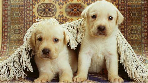 labra puppy two whites labra pups wallpaper