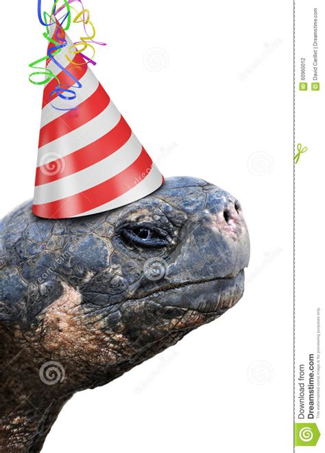 tortoise wearing red  white striped birthday party hat stock photo image