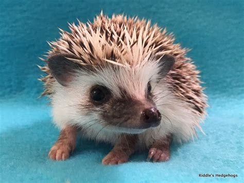 hedgehog for sale for sale riddle s hedgehogs hedgehog breeder in
