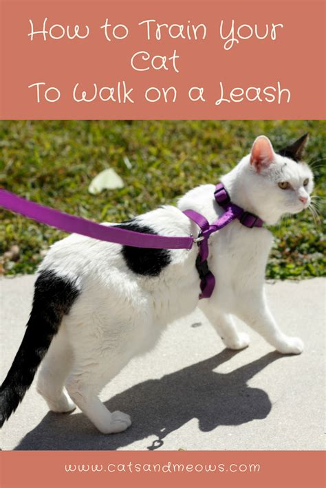 how to your to walk on a lead how to your cat to walk on a leash cats and meows