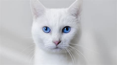 Are Cats With Blue Blind beautiful white cat wallpaper hd pictures