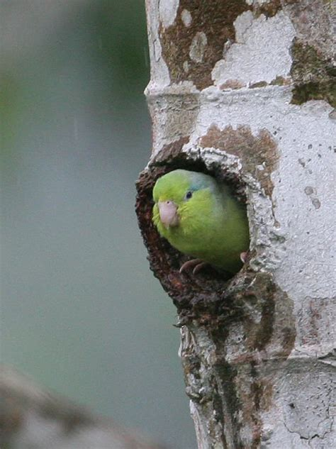 mangoverde world bird guide photo page pacific parrotlet