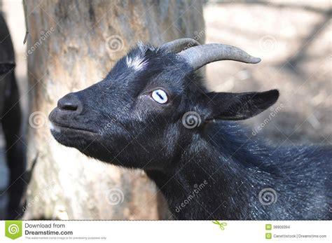 goat  blue eyes stock photo image