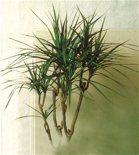Attrayant Plante D Interieur Depolluante #4: dracaena_marginata.jpg