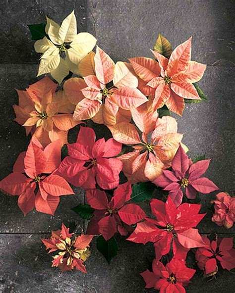 pretty poinsettia projects for a jolly