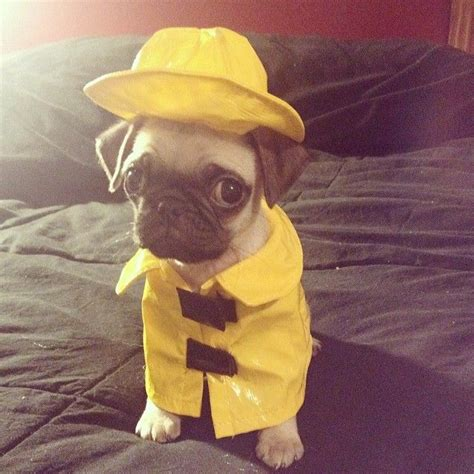 pug in a raincoat these 13 pugs are ready for fall and they re not leaving until you are rover