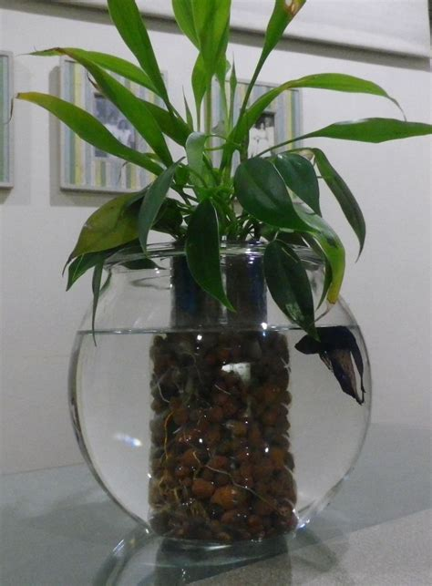 Betta Fish In Vase With Plant by Betta Fish Aquarium With Water Plants Just Add Some Water