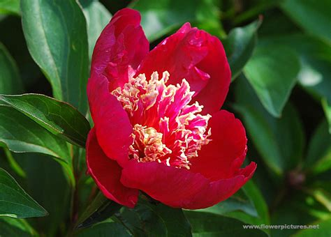 Flower Pic pictures of flowers peony