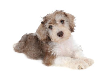 schnoodle puppies rescue how to adopt teddybear schnoodles