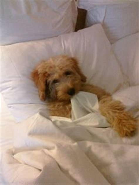 haircuts quad cities types of goldendoodle haircuts google search chewie