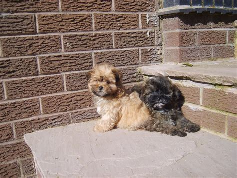 lhasa poo puppies lhasa poo puppies ready now stoke on trent staffordshire pets4homes