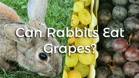 my ate a grape can rabbits eat grapes mccnsulting web fc2
