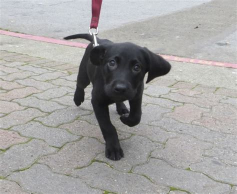 10 week lab puppy of the day barkley the labrador retriever puppy the dogs of san franciscothe