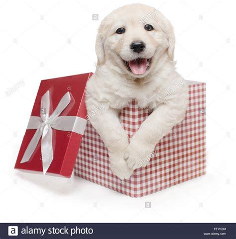 puppy present white golden retriever puppy gift box present labrador stock photo royalty