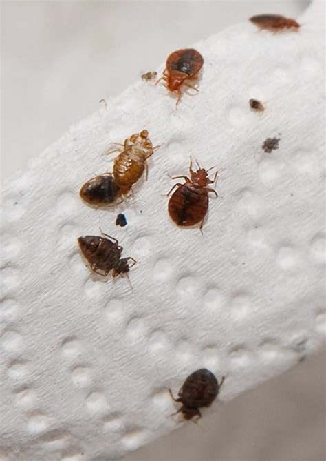 Baby Bed Bugs Picture by What Causes Bed Bugs Bed Bug Guide