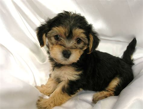 raising a yorkie poo home www maplespringspuppies