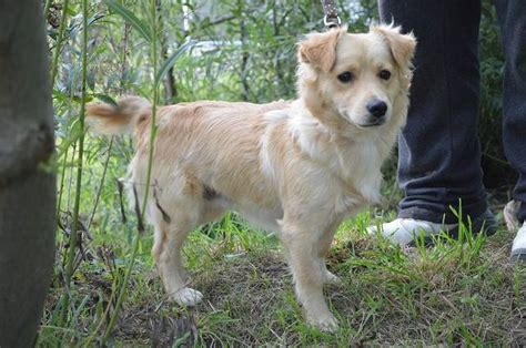 miniature golden retriever california happy end berno sheltie mini golden retriever mischling r 252 de zuhause gefunden