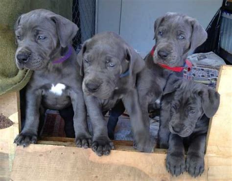 free puppies riverside blue great dane puppies for sale adoption from perris california riverside adpost