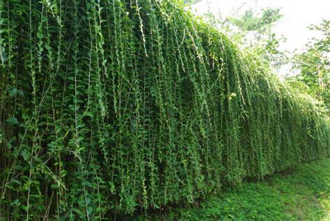 menanam  merawat tanaman hias lee kwan yew