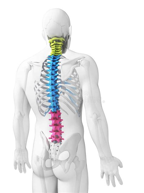 Sections Of The Spine Stock Illustration Illustration Of