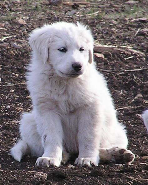 great white pyrenees puppies great pyrenees dogs galloping winds ranch