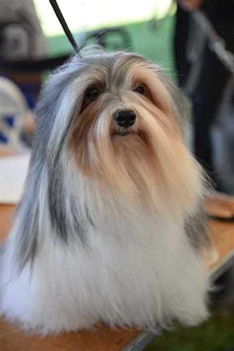 what were havanese bred for havanese breed information