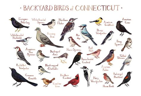 connecticut backyard birds field guide art print watercolor