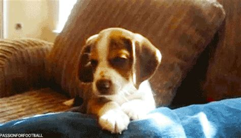 doxen puppy beagle puppy animal gifs breeds picture