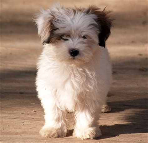 shih tzu maltese breed shih tzu maltese mix dogable